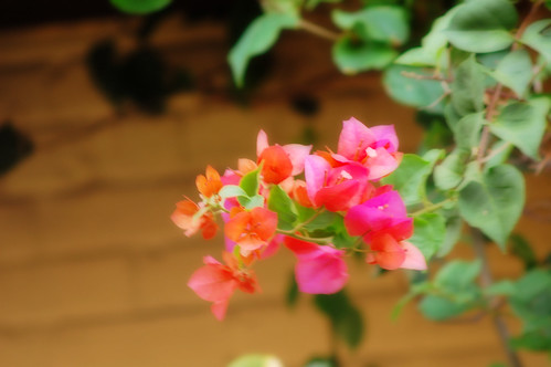 Pink flowers on peach brick