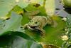 frogsparrow6 (hamidhmz) Tags: پرنده توسط شکار قورباغه