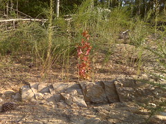 A red plant over a petrified tree (Clevergrrl) Tags: georgia mud stuck augusta quicksand clarkshill thurmondlake