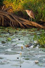 Nankeen Night Heron (Peter Nijenhuis) Tags: australia northernterritory kakadunationalpark cooinda rufousnightheron nycticoraxcaledonicus ef70300mmf456isusm nankeennightheron yellowwaterbillabong 400d peternijenhuis