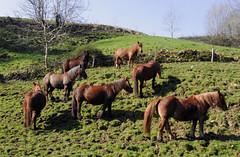705F004A (EDUARDO URDANGARAY) Tags: espaa color fauna caballos exterior asturias da llanes montaas salvajes marrones diurno equinos razas pastando sierradelcuera asturcones