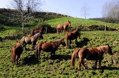 705F004 - ASTURCONES.LLANES.2006 (EDUARDO URDANGARAY) Tags: espaa color fauna caballos exterior asturias da llanes montaas salvajes marrones diurno equinos razas pastando sierradelcuera asturcones