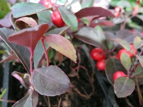 Gaultherium procumbens (Wintergreen)