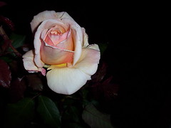 Pretty even in the dark! (fwithclass44) Tags: pink roses flower nature rose yellow dark peach single buds