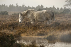 New Forest Mist (4_UR_EYES_ONLY) Tags: horse fog newforest wildhorses