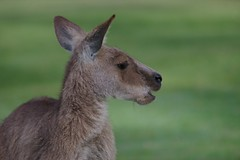 Eastern grey kangaroo eating