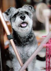 schnauzer (kkemo) (yuk010) Tags: dog schnauzer eos5