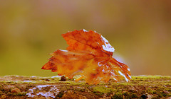autumn's colors.. (aycasan) Tags: autumn macro leaf makro gz mywinners abigfave aycasan