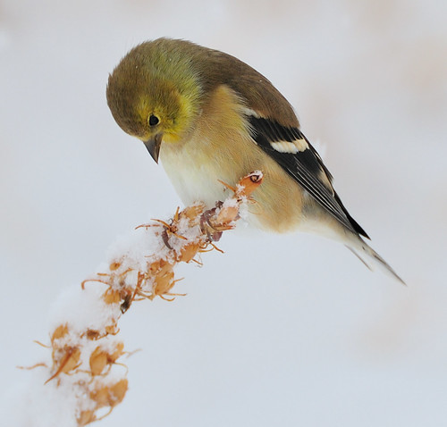 American Goldfinch Searching for Seeds