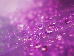 Anyone who says sunshine brings happiness has never danced in the rain. (Quadvision [Bokeh Dreaming]) Tags: crossprocessed waterdrop dof purple bokeh quote sony saturday cybershot drop karachi w50 quadvision bokehlicious hpps bokehlove bokehbubbles bokehmadness bokehaddict crazyforbokeh dreamingofbokeh perfectpurplesaturday happyperfectpurplesaturday favhereagain