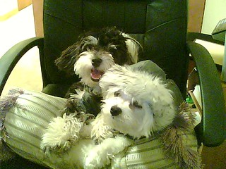 Maltese and Maltipoo Dogs Chilling
