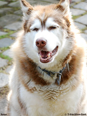 Smiling Dog (yellow_monkey) Tags: dog pet brown sun smile animal outside happy husky burga