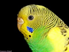 Budgerigar (Melopsittacus undulatus) (Photo Plus 1 (Kamran Ahmed)) Tags: black green bird yellow shell budgerigar budgie parakeet kamran lovebird ahmed naturesfinest melopsittacus undulatus femle photoplus supershot aplusphoto goldstaraward 100commentgroup thewonderfulworldofbirds