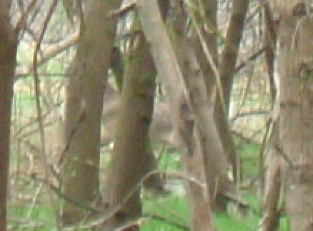 Deer Behind Trees