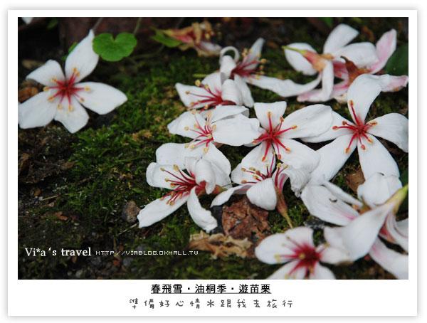 南庄油桐花