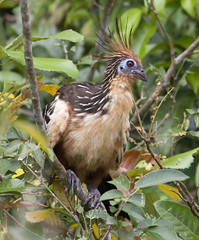 Peru, Tambopta (richard.mcmanus.) Tags: bird peru rainforest hoatzin tropics mcmanus birdwatcher tambopata doubledragon naturesfinest amazonrainforest specanimal thewonderfulworldofbirds naturegreenstar naturescreations animalspool worldnatureclose