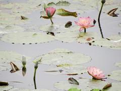 Water lily (ddsnet) Tags: plant flower waterlily sony cybershot aquatic  aquaticplants     cybershor  lily water  tetragona water   lily nymphaeatetragona    nymphaea plants hx100v aquatic nymphaea tetragona plantsnymphaea tetragona