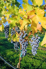 Grapes of Wrath (cwgoodroe) Tags: color nature fountain oakland bay wine sandiego vine honduras saturation area sfchronicle96hrs