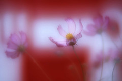 Cosmos (h orihashi) Tags: flowers flower macro nature japan closeup soft pentax bokeh hiroshima  softfocus   mywinners diamondclassphotographer flickrdiamond