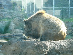 DSC00370 (PaprikaSu) Tags: animal american sanfranciscozoo ursus grizzlybear omnivore