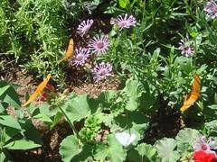 Butterflies sipping nectar)