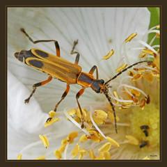 first margined soldier beetle of the season (mimbrava) Tags: flower insect beetle mimbrava rugosarose rosarugosa marginedsoldierbeetle chauliognathusmarginatus leatherwing canonefs60mmf28usm