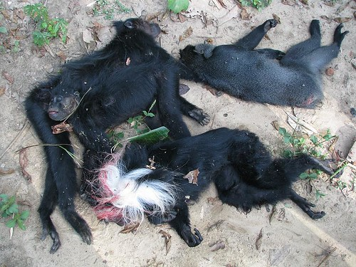 4 dead monkeys killed by a calibre 12 shotgun