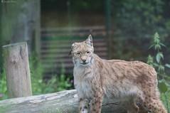 (Pfenya) Tags: animal canon zoo lynx opel opelzoo luchs kronberg ef70300mmf456isusm lynxlynx 40d canon40d zookronberg