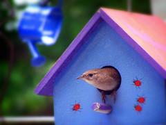[フリー画像] 動物, 鳥類, スズメ目, ミソサザイ, 200807070300