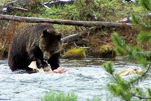 My first Grizzly Encounter