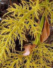 Garten sunshine- palme  verblueht 2008-06 (Brigitte Rieser) Tags: garden private österreich flora palm garten palme niederösterreich loweraustria privatgarten