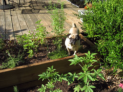 norman in the herb garden