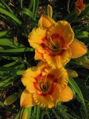 garden shots June 08 043