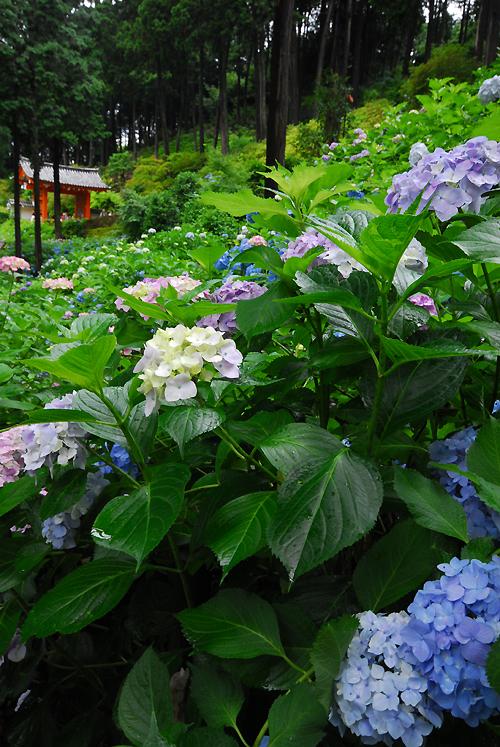 三室戸寺 紫陽花庭園(Hydrangea Garden)