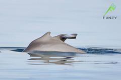 Kuwait Dolphin's (Fawaz Al Nashmi) Tags: camera blue fish water animal canon see dolphin dolphins kuwait fawaz q8 eos1ds  markiii   funzy    alnashmi funzyclick