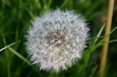 Fallschirme (Kampfi) Tags: flowers blumen parachute lwenzahn pusteblume blowball fallschirm