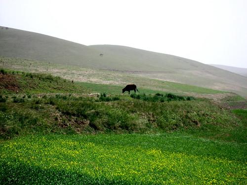 An ox eating grass