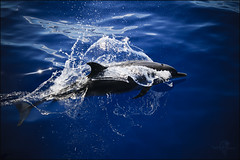 Douceur (Spirit photos) Tags: ocean blue sea mer dolphin martinique awesome dauphin westindies grandbleu anawesomeshot vosplusbellesphotos