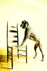 (niquin) Tags: portrait dog animal standing chair poodle aged smaug standardpoodle blackstandardpoodle thelittledoglaughed goldstaraward poodlestandingonachair
