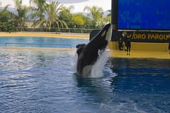 32) Loro Parque: Orca Show (michaelgrohe) Tags: ocean park parque vacation holiday animals island tiere kanaren canarias atlantic tenerife whale orca teneriffa orcas loro wal inseln