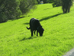 tins eats grass (beccaplusmolly) Tags: greatdane tinsley eatinggrass