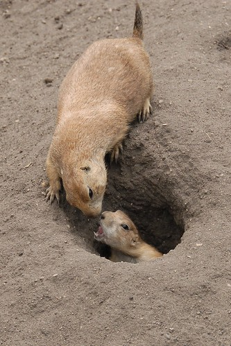 Red River Zoo - Prairie Dogs, Ducklings, Bison - Throwing ...