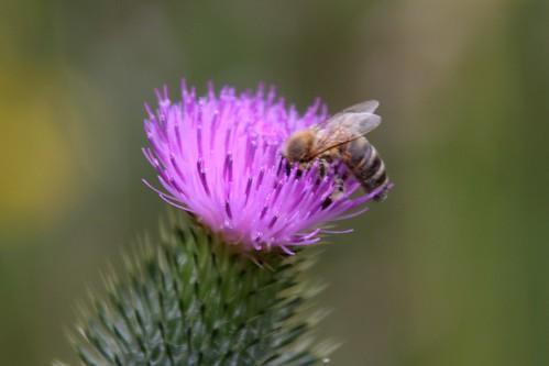Biene auf Distel 2