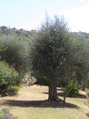 20080808 - Friday Olive Tree Blogging