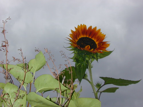 dark sunflower