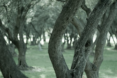 portal (line.theory) Tags: trees blur green nature focus dof bokeh australia depthoffield adelaide swirl portal olivegrove canon50mm18 canoneos400d victoriaracetrack