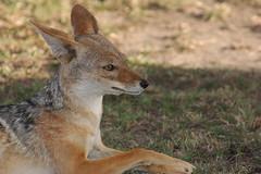 Jackal (frederic.salein) Tags: africa honeymoon jackal kenya safari masaimara fredericsalein