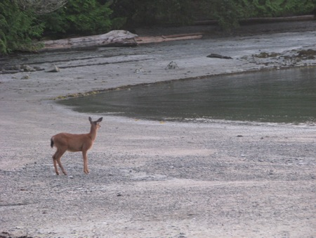 Deer on Willis Island