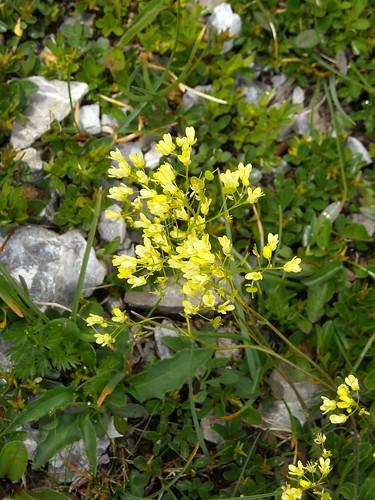 Buckler Mustard (Biscutella laevigata)