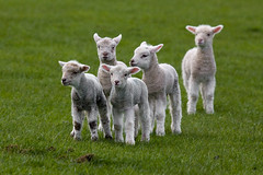 New Zealand Spring Lambs (*amy&kimball) Tags: newzealand baby white cute green wool nature grass lost outdoors spring infant babies sheep searchthebest fuzzy five farm flock group innocent meadow safari pasture lamb southisland curious wooly curiosity soe southland graze lineup woolly paddock inquisitive lambie naturesfinest lambies mywinners impressedbeauty otautau